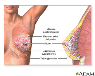 càncer mama fisiologia